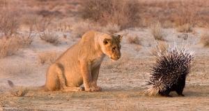Lion_Porcupine